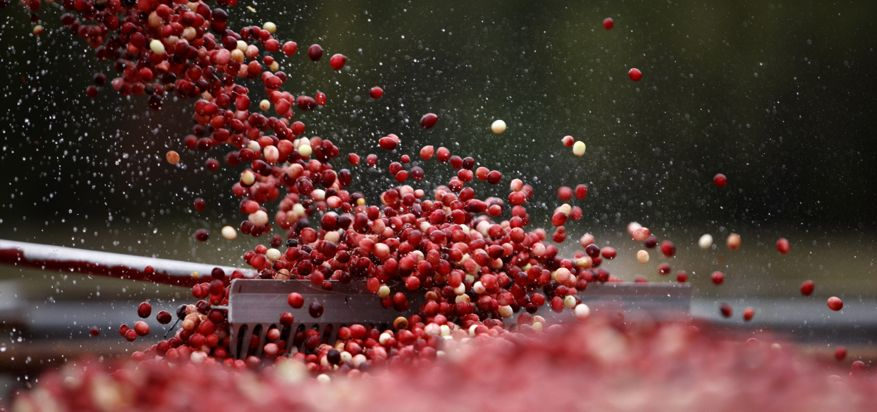 Millions of kilos of cranberries