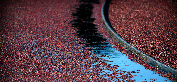 Cranberries float on water